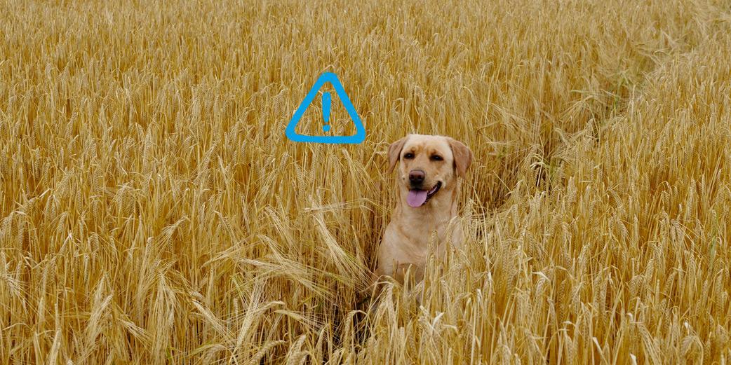 chien dans un champs d'epilets