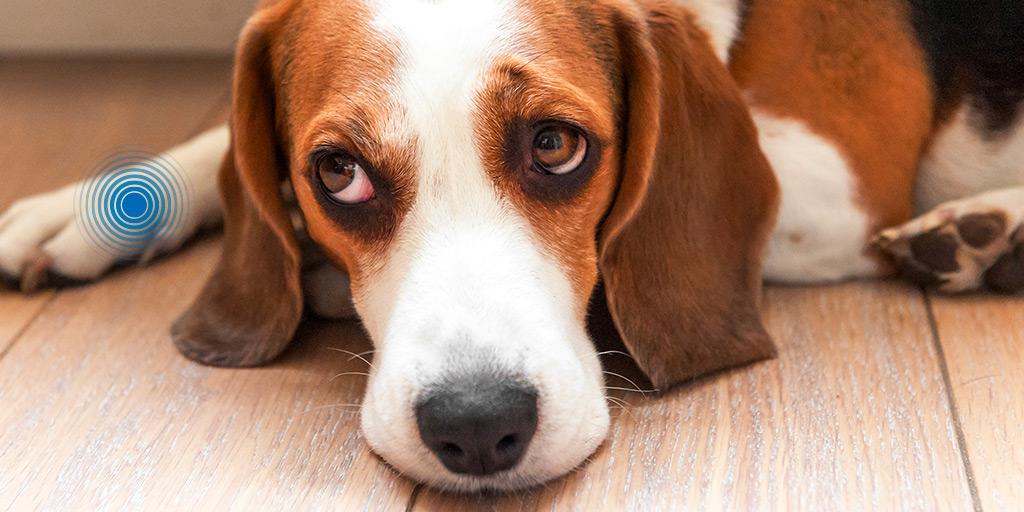 boiteries chien